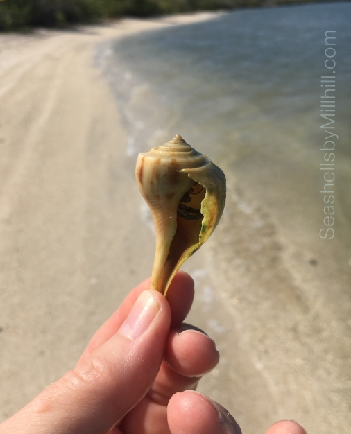pear whelk seashell