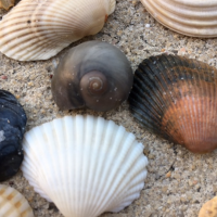 Does Collecting Seashells Really Harm Beaches?