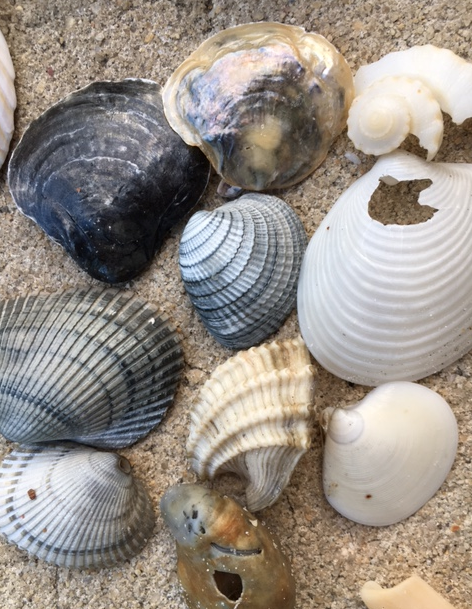 black jingle shells