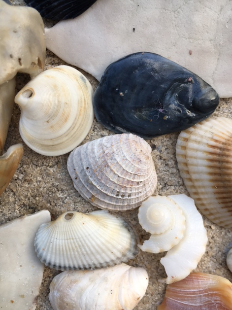 cross-barred venus clam