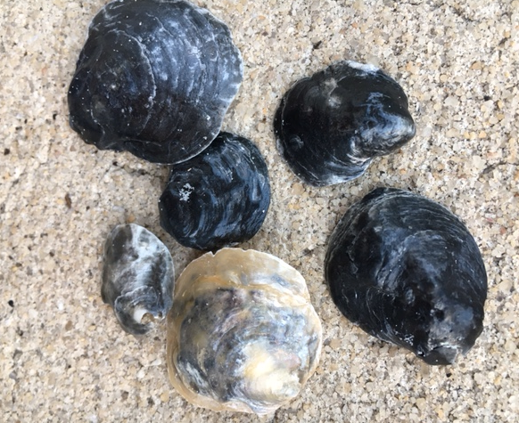 black and silver jingle shells