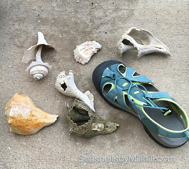 broken whelks big seashells