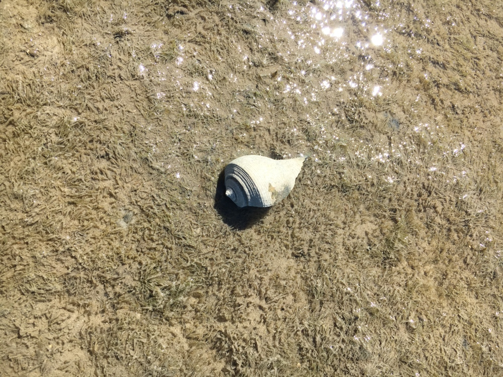 seashell in mud