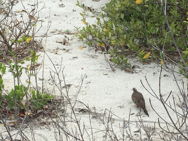 mourning dove in sand