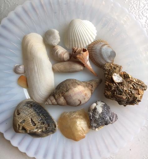 various Florida seashells
