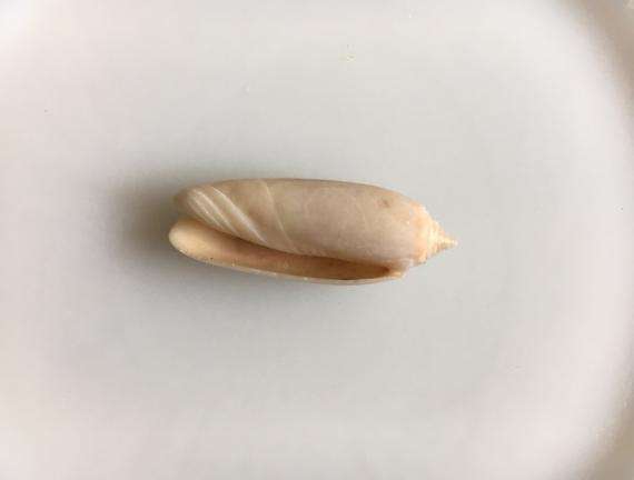 lettered olive shell