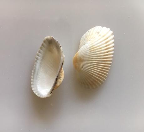 transverse ark shells