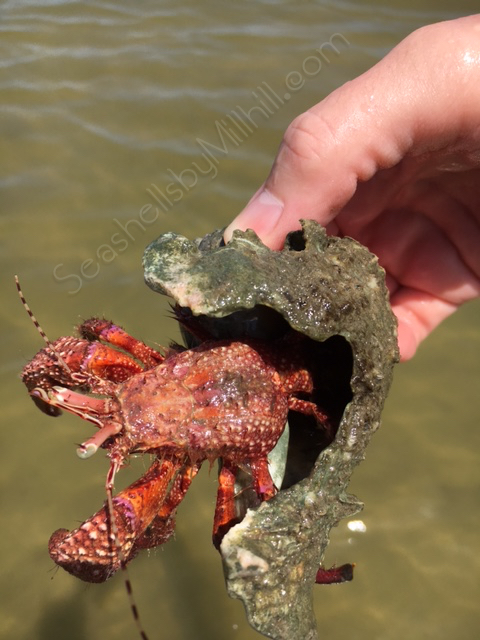 giant red crab florida