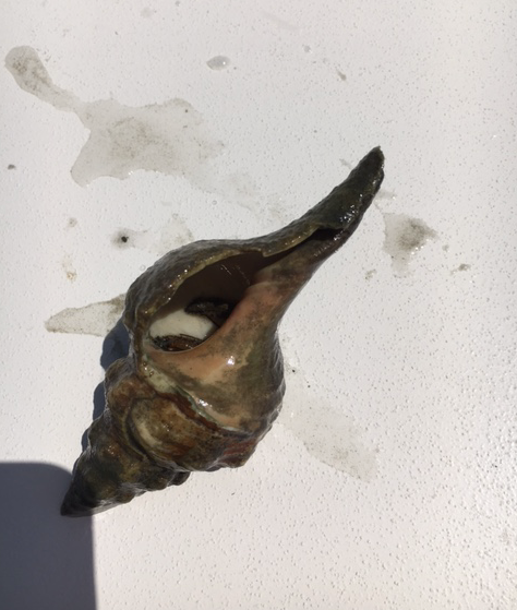 hermit crab inside horse conch shell