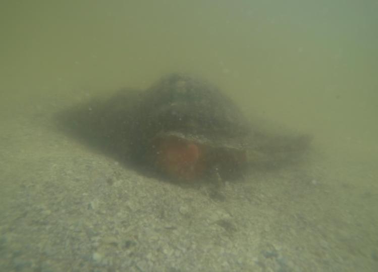 underwater horse conch mollusk