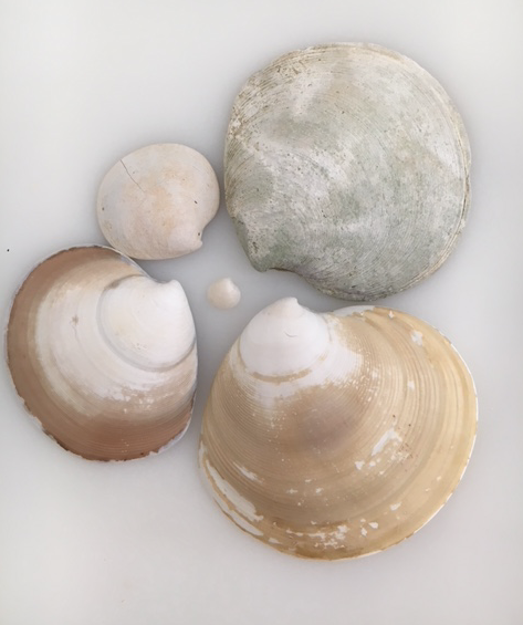 disc dosinia seashells