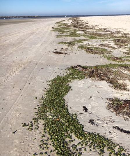 Sea greenery