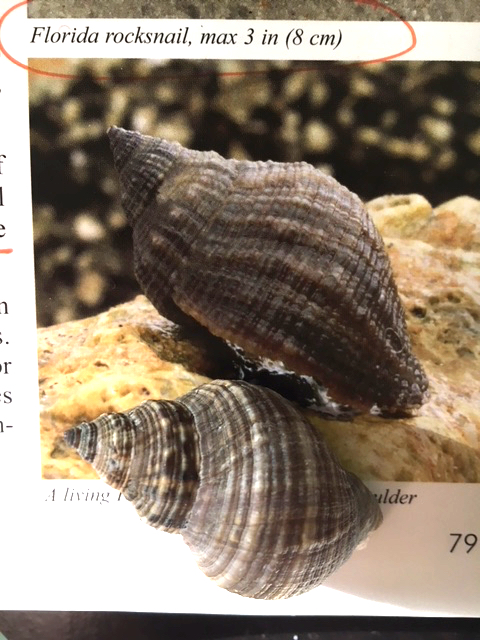 rock snail shell