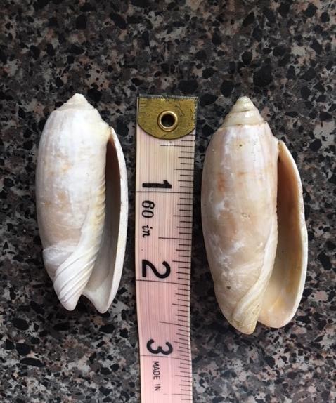lettered olive shells