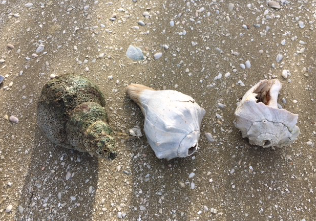 old worn conch and whelk shells