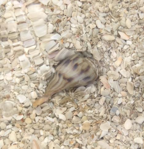 pear whelk on seashell bottom