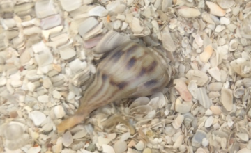 pear whelk on seashell bottom