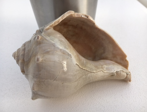 opening of knobbed whelk