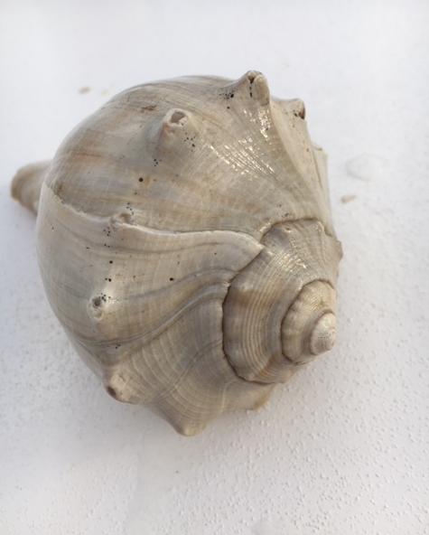 Pretty, big knobbed whelk seashell in shades of tan and gray
