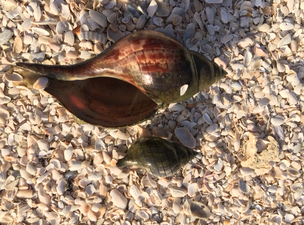 tulip shells