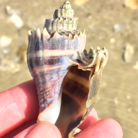 Seashell Identification: About the Florida Crown Conch