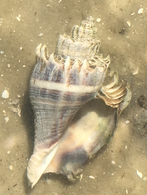 crown conch