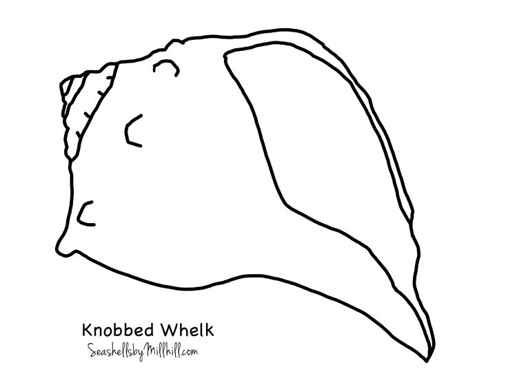 knobbed whelk full