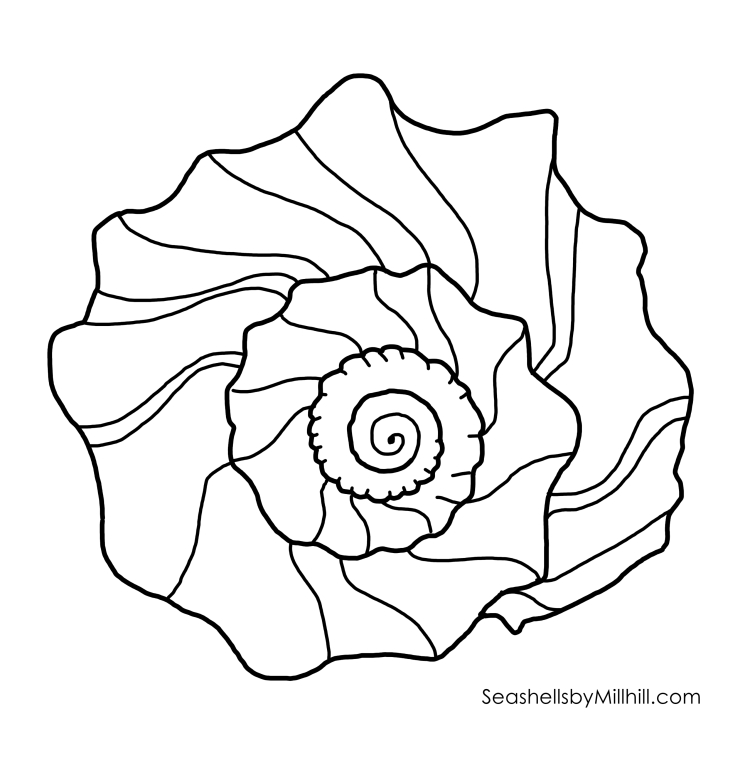 knobbed whelk whorl