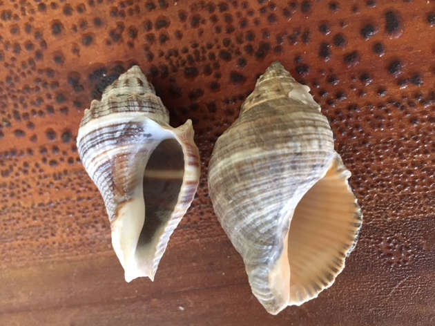 shells that look alike crown conch and rock snail shells