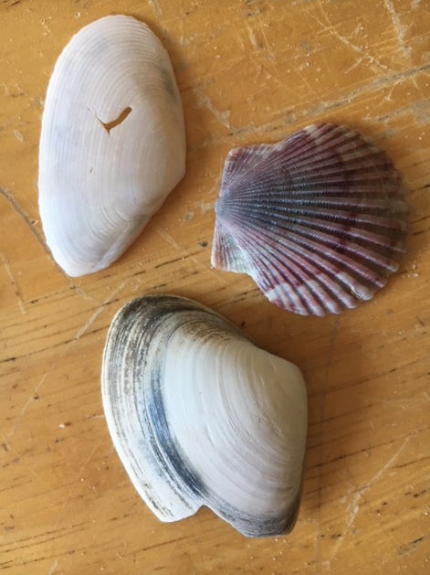 scallop and clam shells