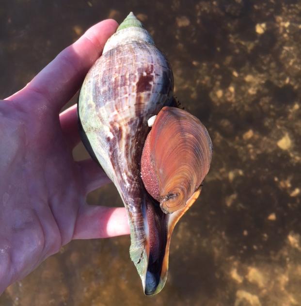 living tulip shell