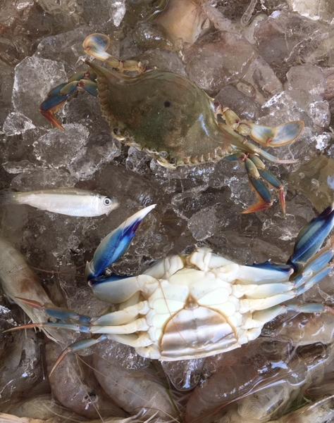 blue crabs