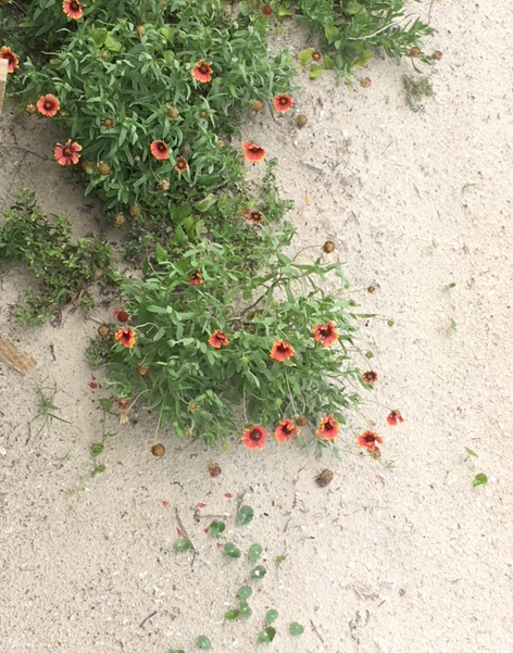 wildflowers in the dune sand