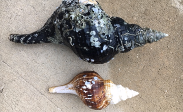 huge horse conch seashell