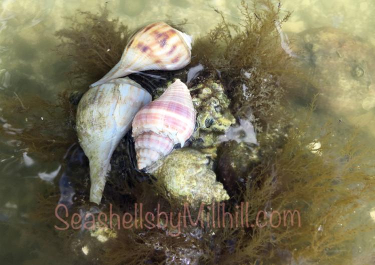 tropical seashells in the wild