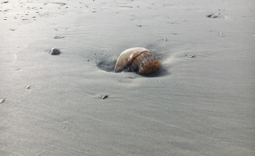 Cannonball jellyfish at Ponce Inlet Florida