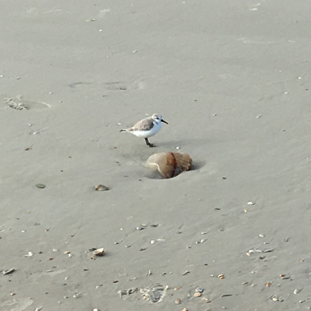 Plover checking out the jellyfish near Ponce Inlet.