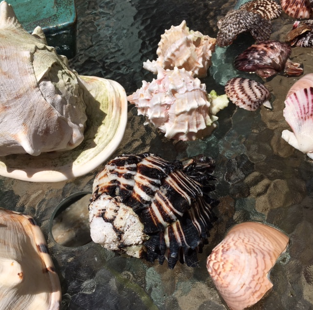 Black murex and other seashells