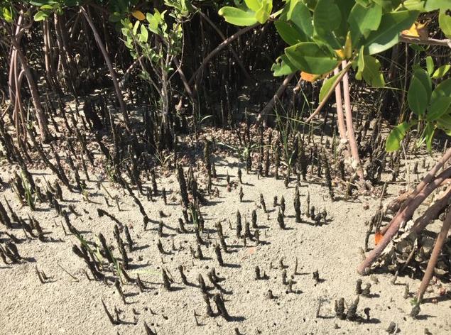 Fiddler crabs among mangroves
