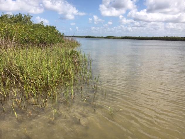 Shallow water around mangroves