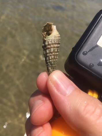Florida cerith shell with hermit crab inside