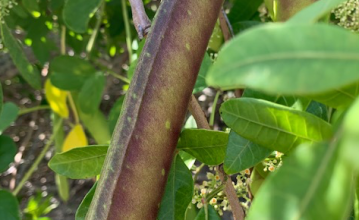 long bean on tropical vine