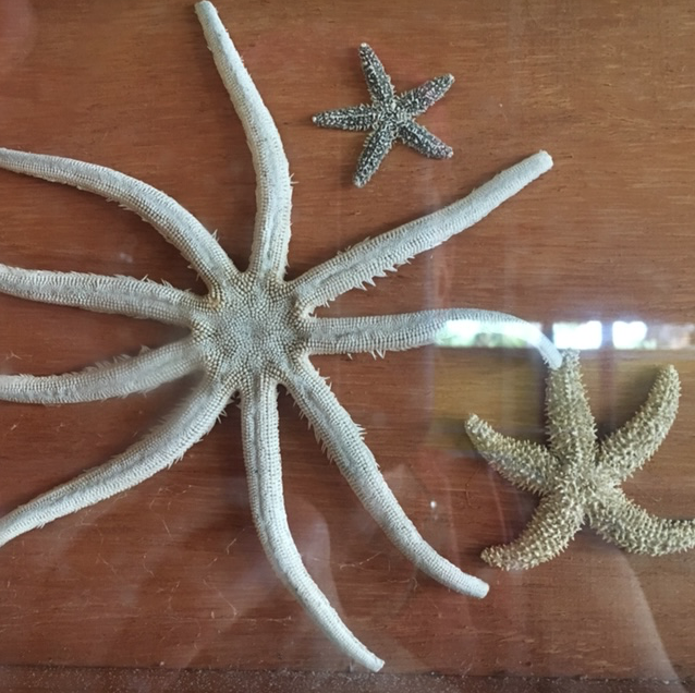 Starfish under glass at Smyrna Dunes Park