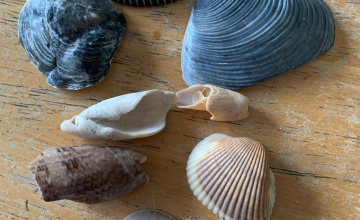 Collection of seashells, black shells, arks