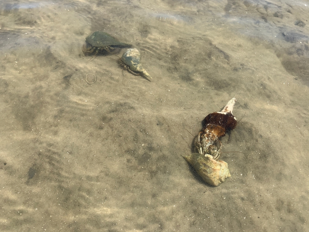 Four hermit crabs in the wild