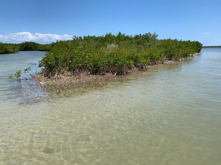 Mangroves along the Indian River