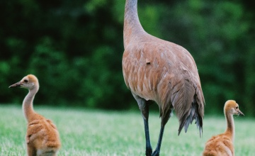 Sandhill crane adult and babies