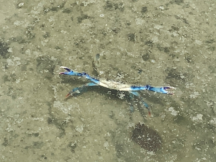 blue crab young juvenile