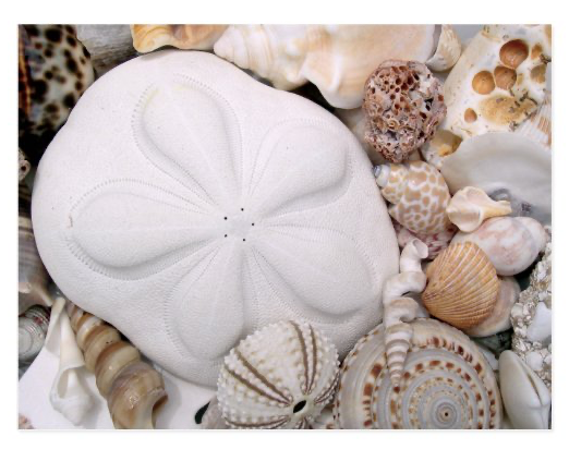 Sand dollar sea cookie beach shells postcard