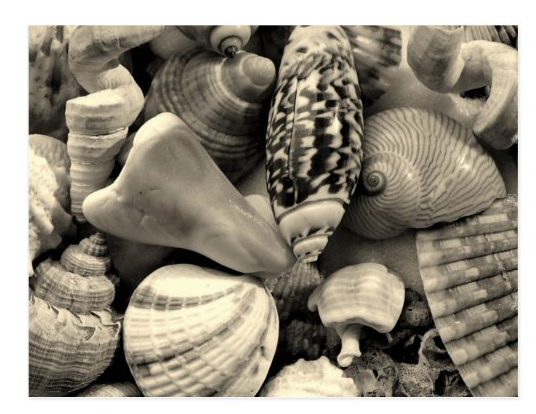 black and white seashells postcard